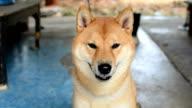 Dogs ,Shiba