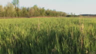 Dog's View of Tall Grass