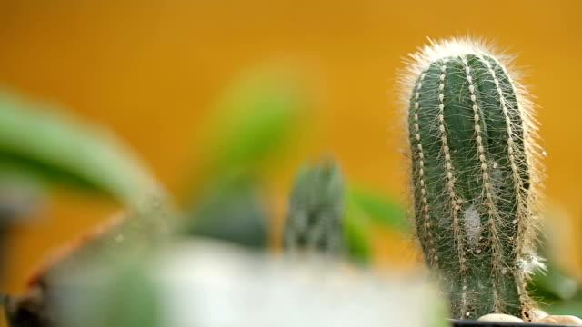 Dolly cactus in the garden