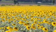dolly: Field of sunflowers  head bend down in afternoon
