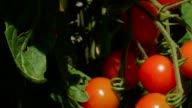 Dolly: fresh tomatoes in the garden