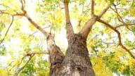 Dolly : Golden shower tree (ratchaphruek flower)