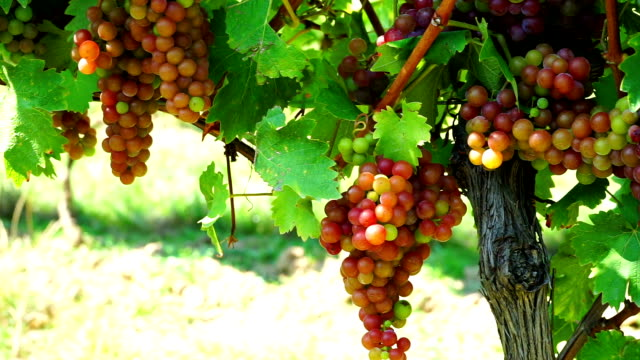 HD Dolly: Red Grapes In Vineyard
