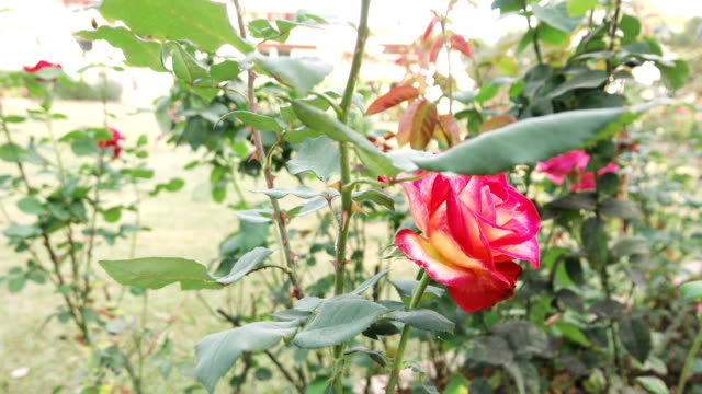Dolly shot: Beautiful roses in rose garden