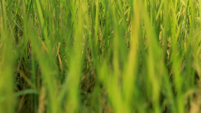 Dolly shot Green paddy rice field