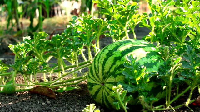 Dolly shot of a watermelon in a gentle breeze