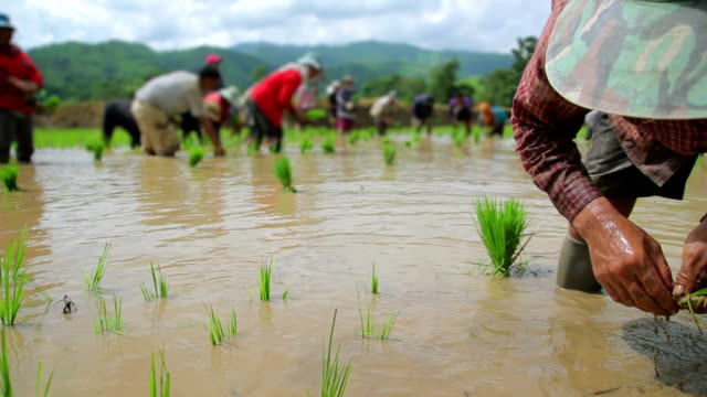 Dolly shot of farmers plant rice in paddy field