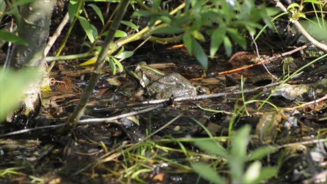 Dolly shot of swamp area, frog sitting, two scenes