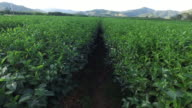 Dolly shot of tea plantations