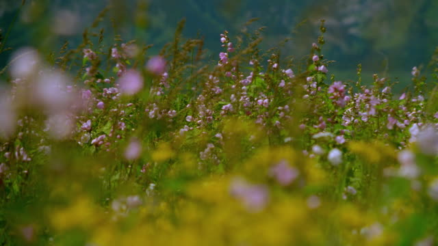 dolly shot out from field of wildflowers to snowy Grand Teton mountains in background / Wyoming