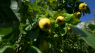 dolly shot, ripe quince fruit on tree against blue sky