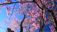 Dolly Shot: Spring Pink Cherry Blossoms with Blue Sky Backgrounds