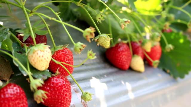 Dolly shot: Strawberry bush growing in the farm