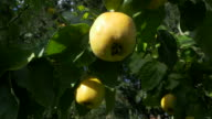 dolly shot, sunlit ripe quince fruit and green leaves on branches