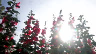 HD dolly shot:sunshine with flowers in the morning