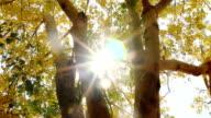 Dolly : sun ray Golden shower tree