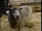 Dolly the cloned sheep has arthritis ITN Edinburgh Roslin Institute Dolly the cloned sheep in pen Professor Ian Wilmut interviewed SOT I don't think...
