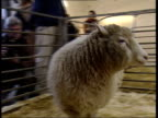 Dolly the cloned sheep has arthritis ITN Edinburgh Roslin Institute Dolly the cloned sheep in pen