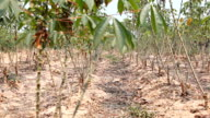 HD Dolly:Cassava tree. Arable agricultural land