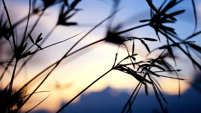 HD Dolly:flower of grass beside the road at sunset.