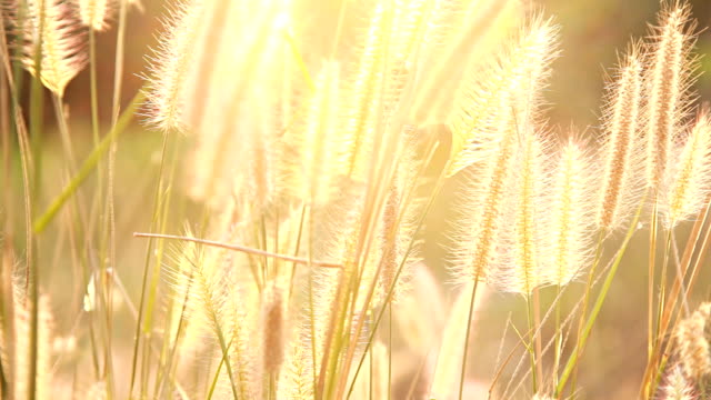 HD Dolly:Flower of grass