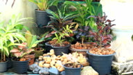 HD Dolly:Potted plants in the home garden.
