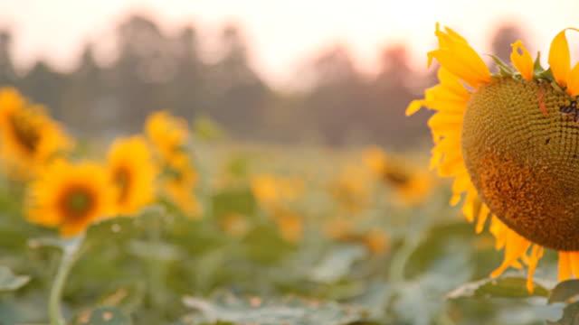 Dolly:Sunflower in sunflower field