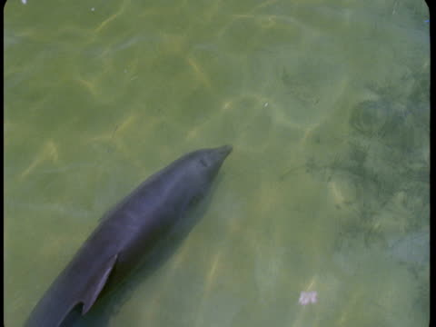 A dolphin explores shallow waters.