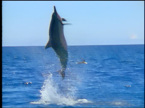Dolphin jumping out of ocean + spinning in air / falling back into water with splash / Hawaii