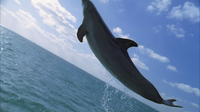 SLO MO WS TS Dolphin jumping out of water / Moorea, Tahiti, French Polynesia