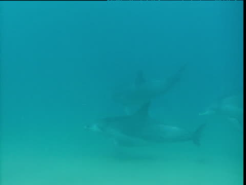 Dolphins swim right to left past camera, Durban