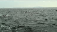 WS SIDE POV Dolphins swimming and jumping in front of sailboat / Santa Barbara, Channel Islands, United States