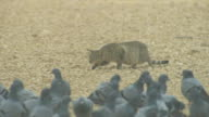 Domestic cat stalks towards large group of domestic pigeons in foreground