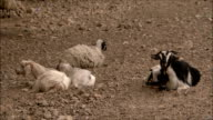 WS Domestic cattle lying down on rocky ground, Iran