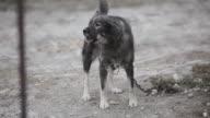 Domestic dog at leash barking in the yard