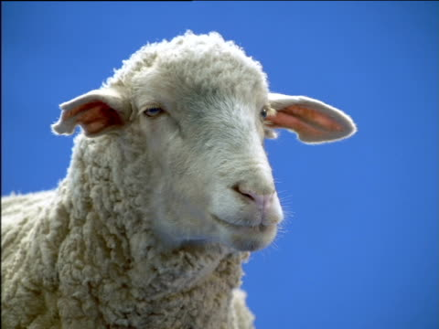 Domestic sheep looks around whilst chewing