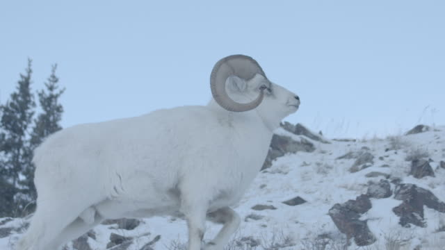 Dominant Mountain Sheep stands with pride