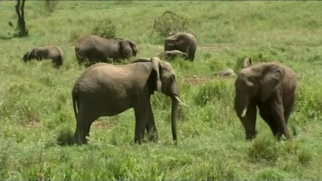 Donald Trump relaxes rules on elephant trophy hunting T10021430 / TX Various shots elephants in the wild