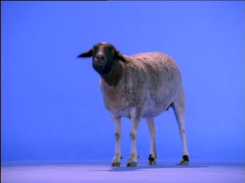 Dorper sheep having sneezing fit