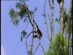 Douc Langur swings through trees.
