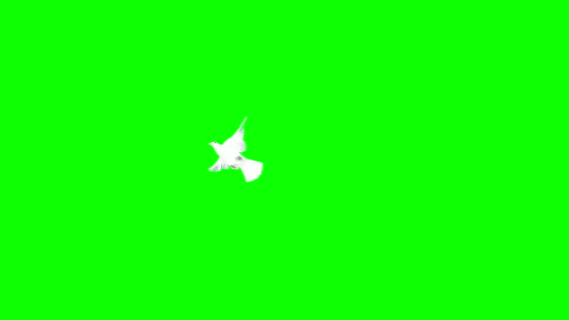 Dove Flying Over A Chroma Background (Super Slow Motion)