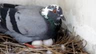 Dove gray, hatch.