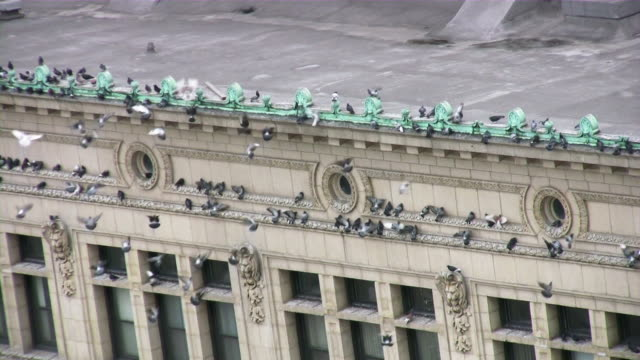 Doves flying / landing on city building roof.