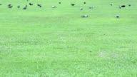 Tauben auf dem grünen Rasen