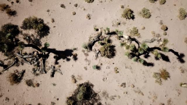 Neerwaartse weergave van Joshua bomen in woestijn