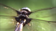 A dragonfly beats its wings in slow motion.