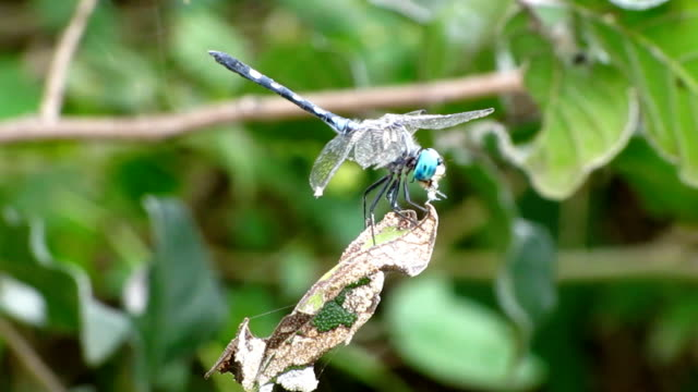 Dragonfly Catching and Eating an Insect