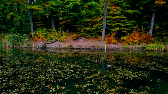 Drake floating in green water of forest lake covered with dry leaves