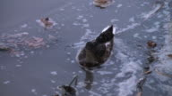 Dramatic cohabitation and adaptation of a duck in polluted waters