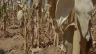 Dried maize corn plants grow in a drought affected field operated by farmer Ryan Matthews in Lichtenburg North West Province of South Africa on...